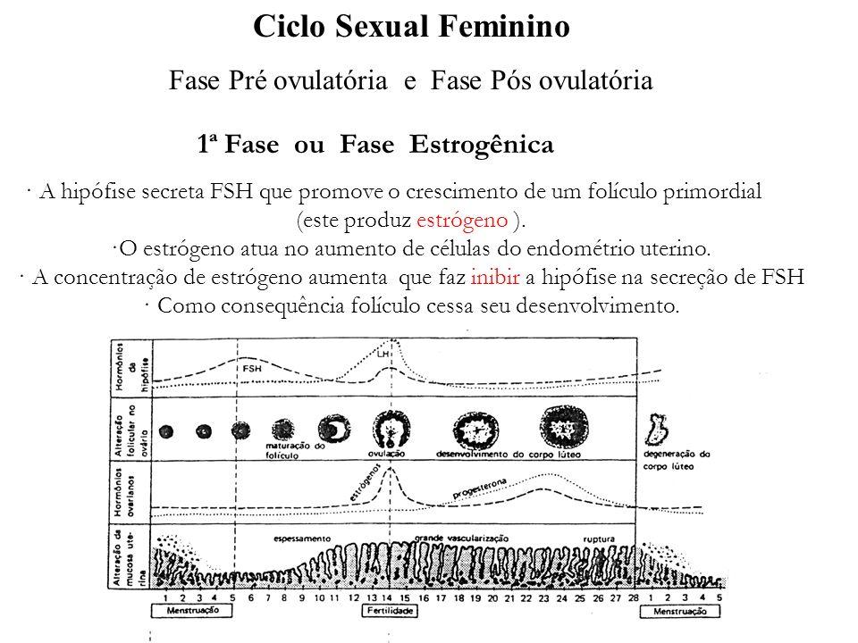 1ª Fase ou Fase Estrogênica