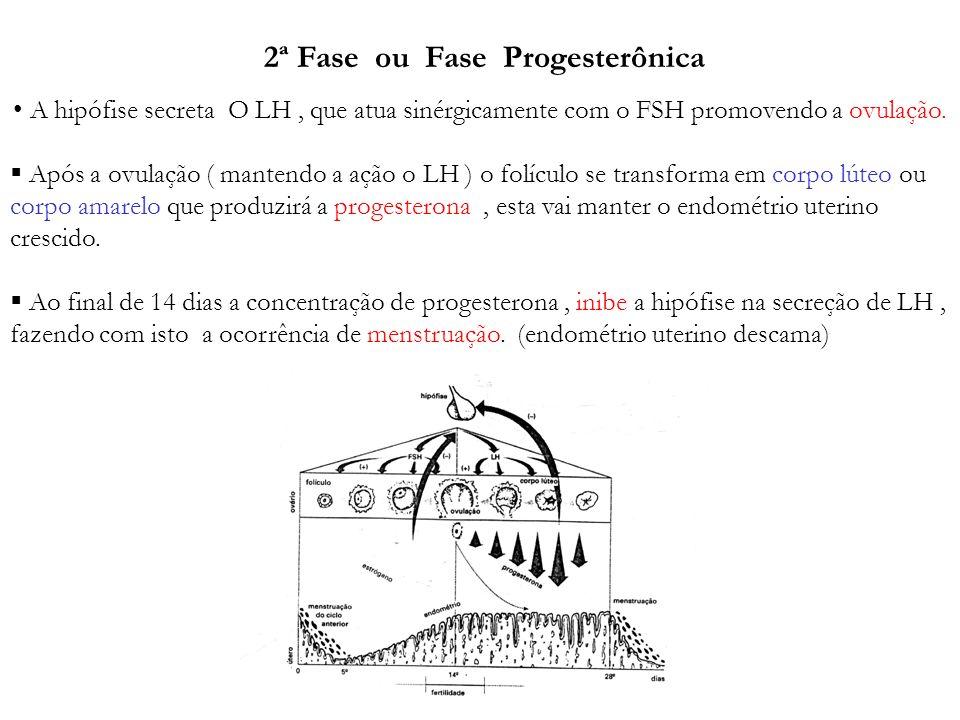 2ª Fase ou Fase Progesterônica