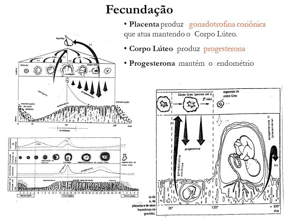 FecundaçãoPlacenta produz gonadotrofina coriônica que atua mantendo o Corpo Lúteo. Corpo Lúteo produz progesterona.