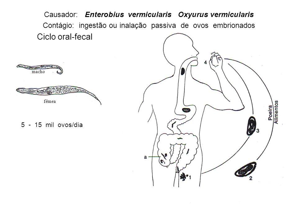 Causador: Enterobius vermicularis Oxyurus vermicularis
