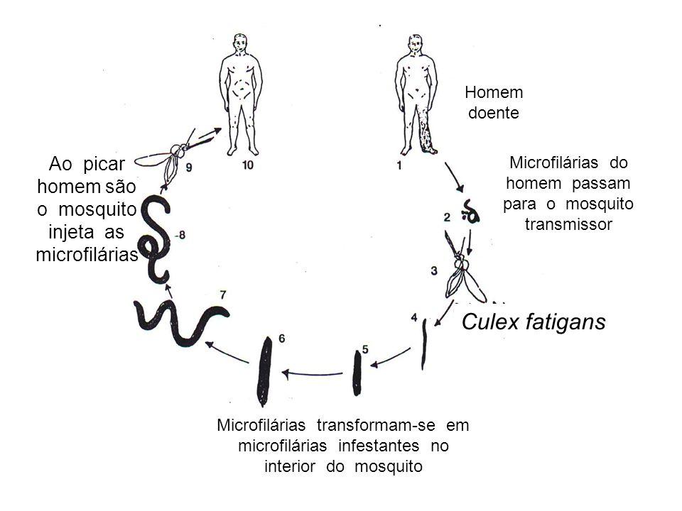 Culex fatigans Ao picar homem são o mosquito injeta as microfilárias