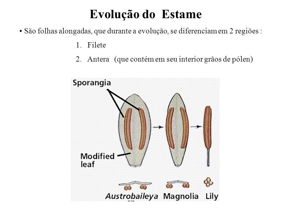 Evolução do Estame São folhas alongadas, que durante a evolução, se diferenciam em 2 regiões : 1. Filete.