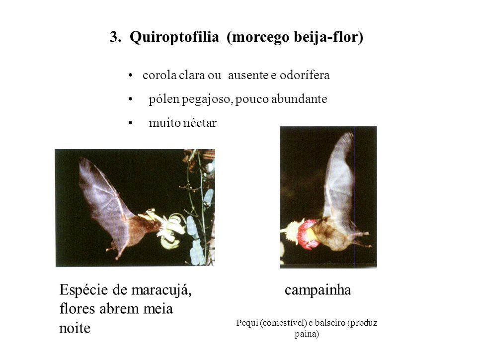 3. Quiroptofilia (morcego beija-flor)