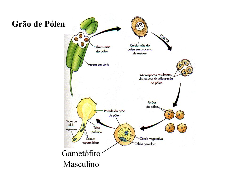 Grão de Pólen Gametófito Masculino adalberto
