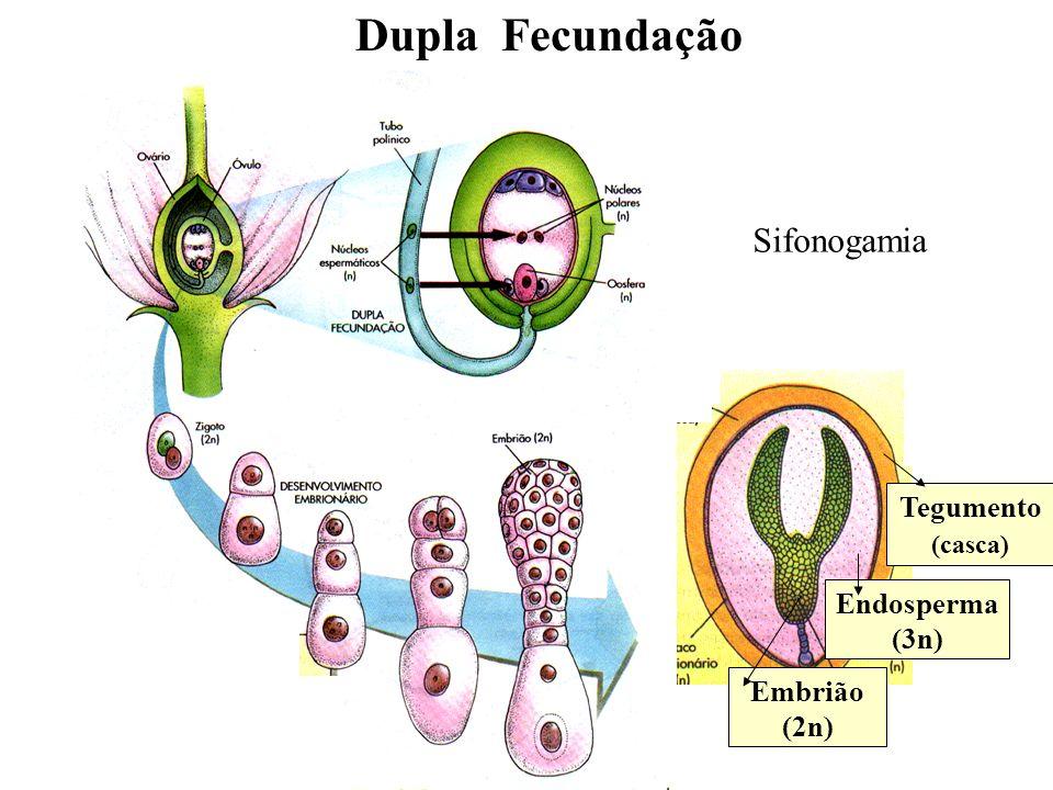 Dupla Fecundação Sifonogamia Tegumento Endosperma (3n) Embrião (2n)