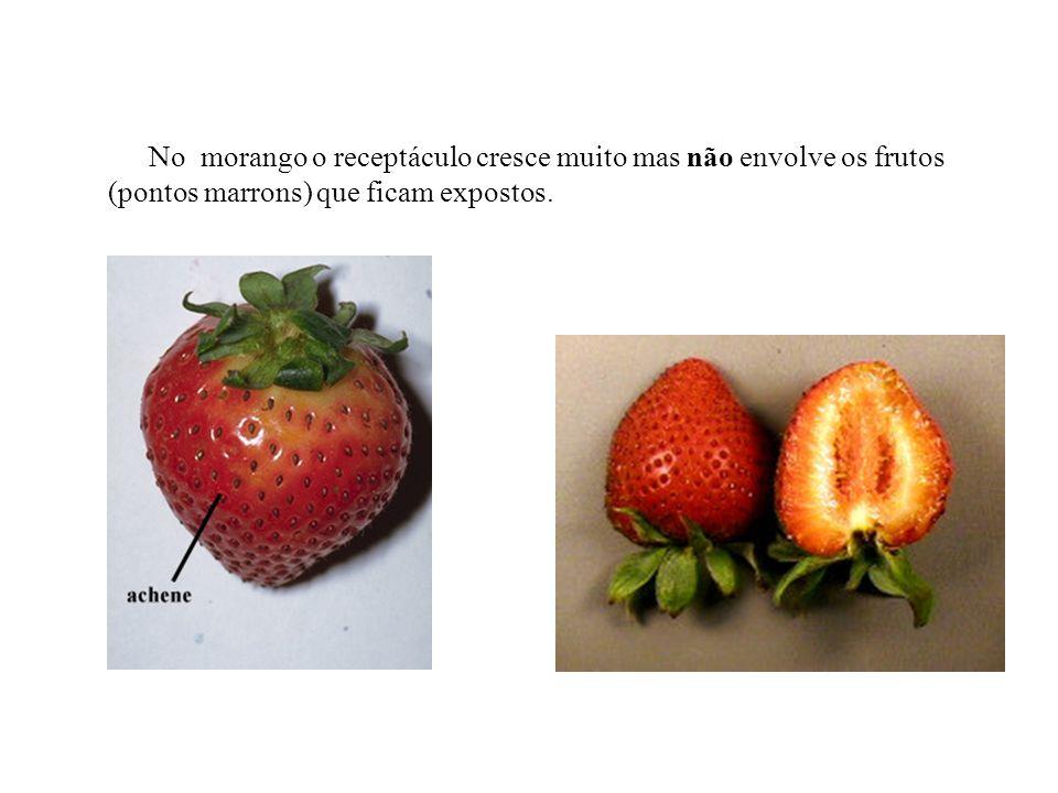 No morango o receptáculo cresce muito mas não envolve os frutos (pontos marrons) que ficam expostos.