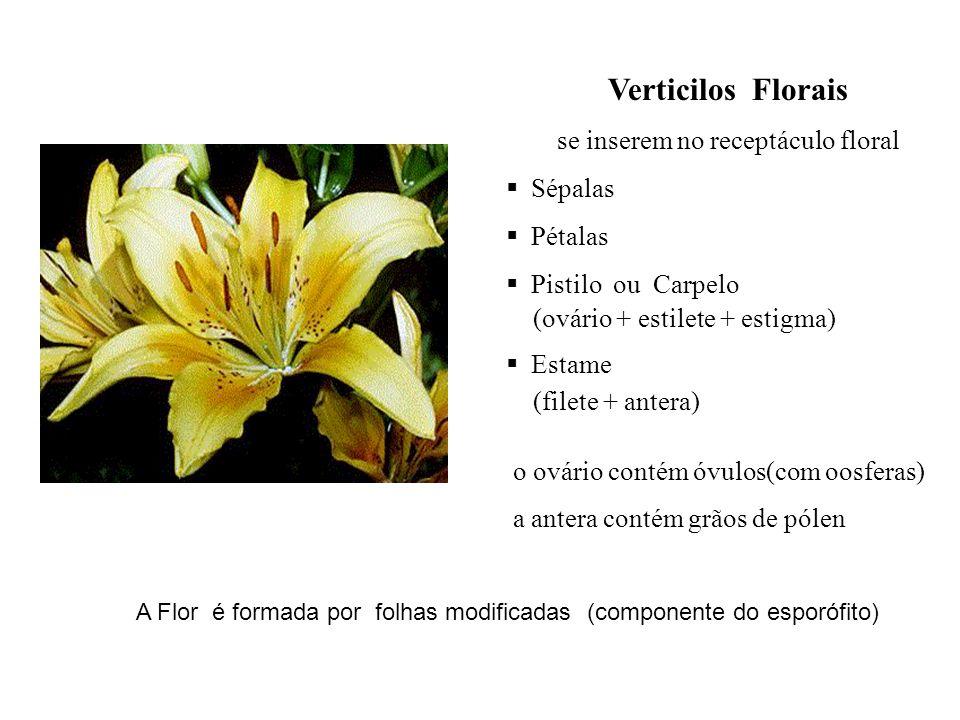 Verticilos Florais se inserem no receptáculo floral Sépalas Pétalas