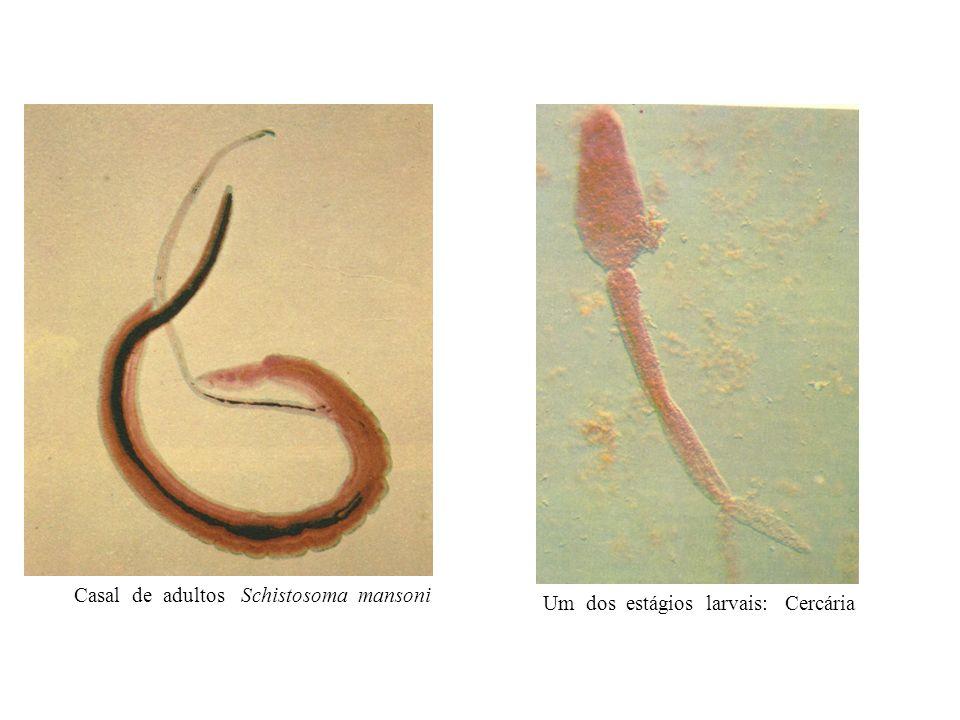 Casal de adultos Schistosoma mansoni