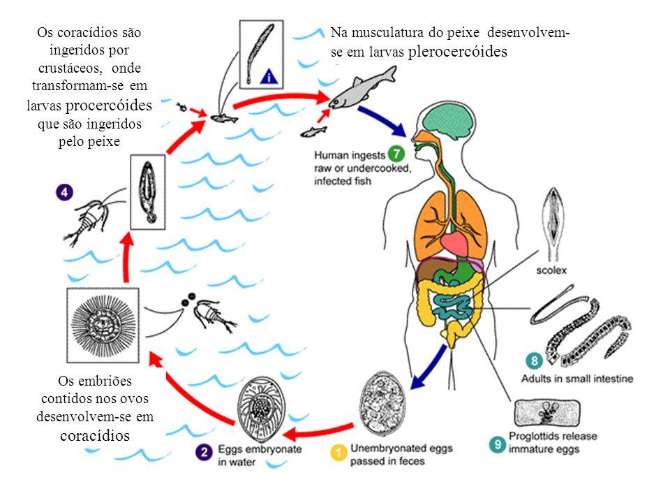 Os embriões contidos nos ovos desenvolvem-se em coracídios