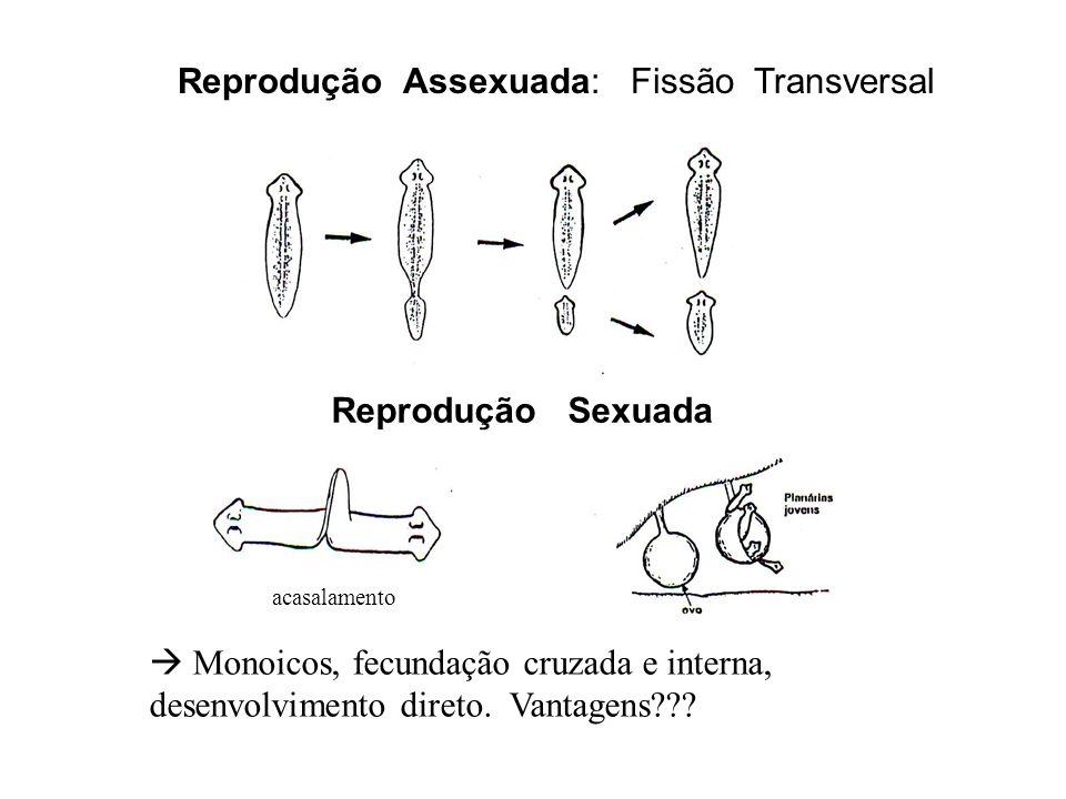 Reprodução Assexuada: Fissão Transversal