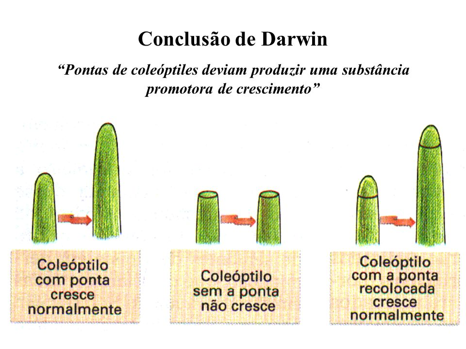 Conclusão de Darwin Pontas de coleóptiles deviam produzir uma substância promotora de crescimento