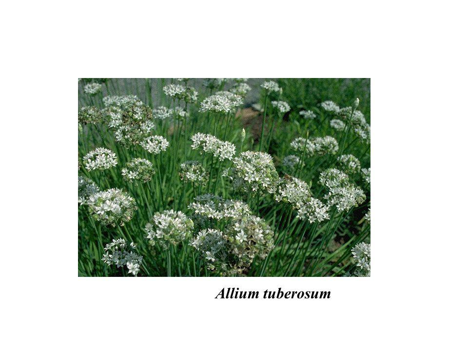Allium tuberosum adalberto