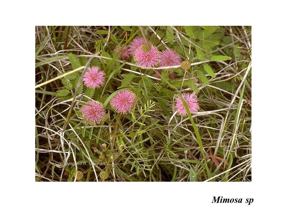 adalberto Mimosa sp