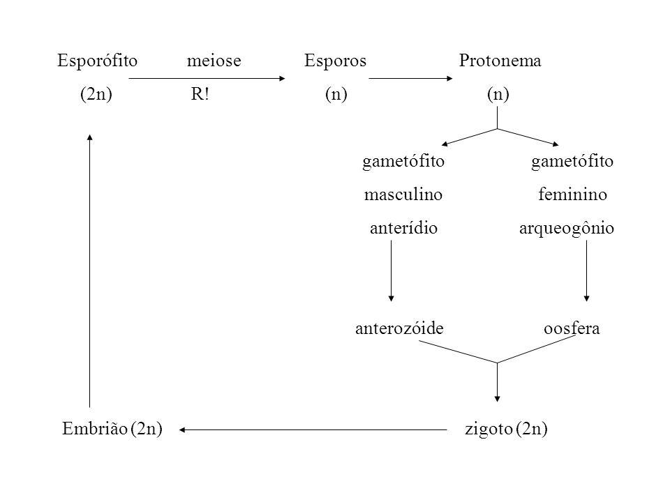 Esporófito meiose Esporos Protonema