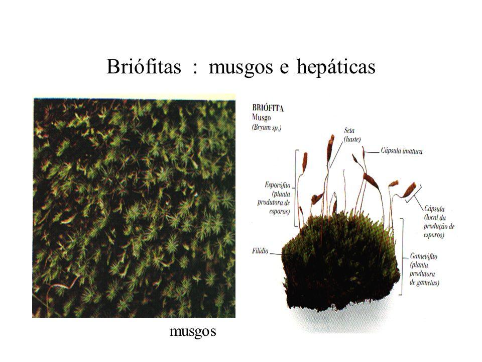 Briófitas : musgos e hepáticas