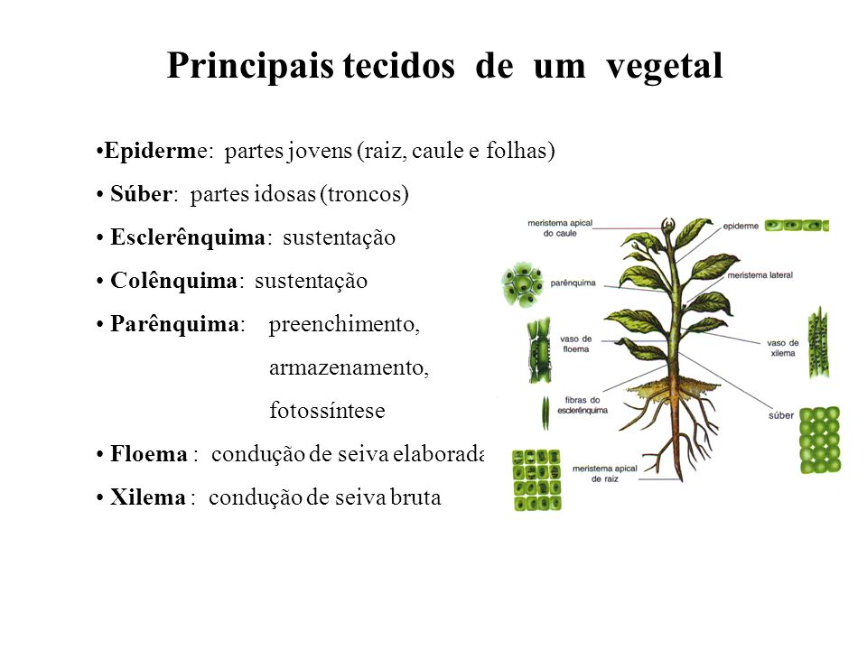 Principais tecidos de um vegetal