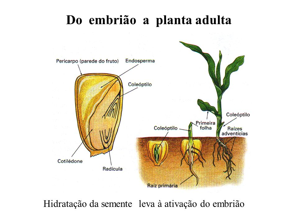Do embrião a planta adulta