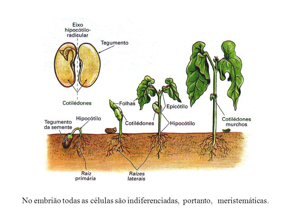 No embrião todas as células são indiferenciadas, portanto, meristemáticas.