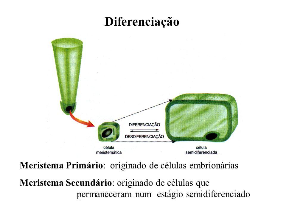 Diferenciação Meristema Primário: originado de células embrionárias