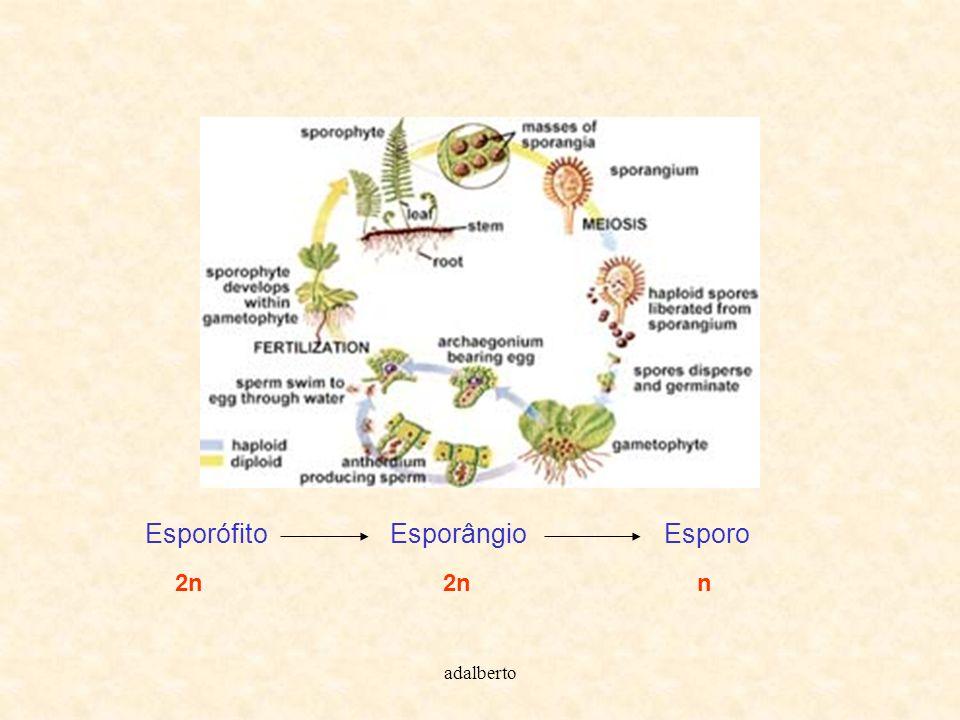 Esporófito Esporângio Esporo 2n 2n n