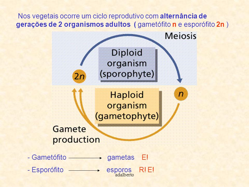 Nos vegetais ocorre um ciclo reprodutivo com alternância de gerações de 2 organismos adultos ( gametófito n e esporófito 2n )