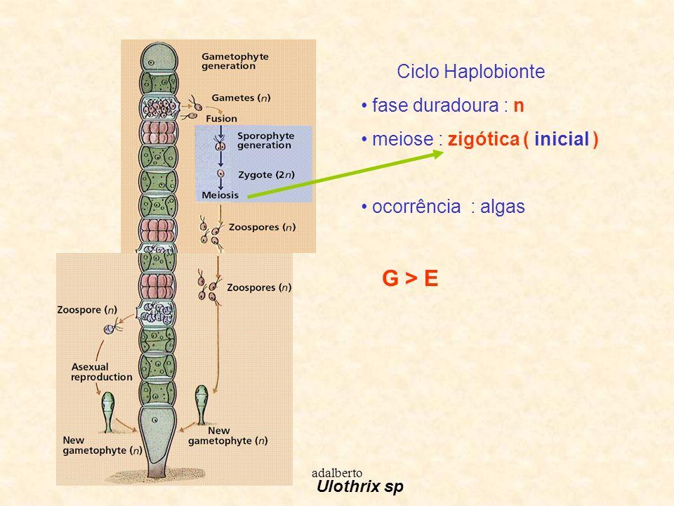 meiose : zigótica ( inicial )
