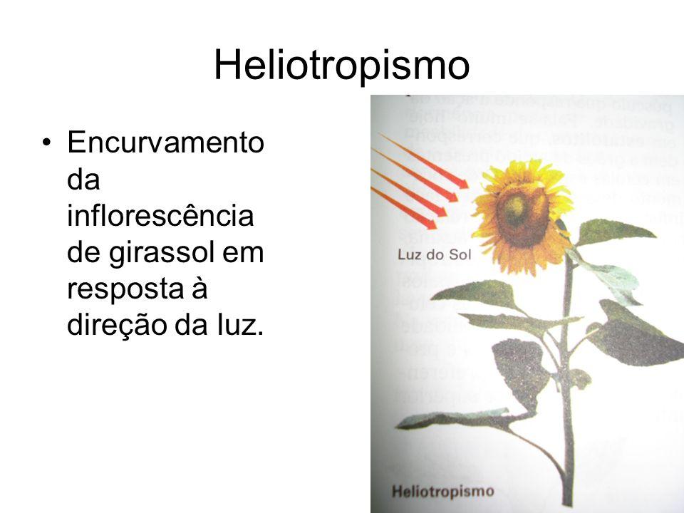 Heliotropismo Encurvamento da inflorescência de girassol em resposta à direção da luz.