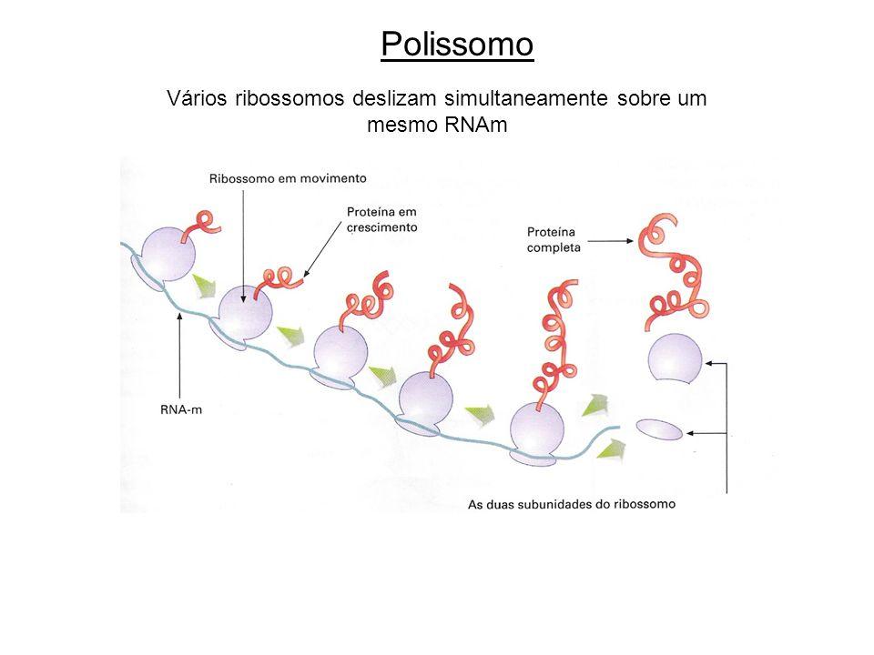 Vários ribossomos deslizam simultaneamente sobre um mesmo RNAm