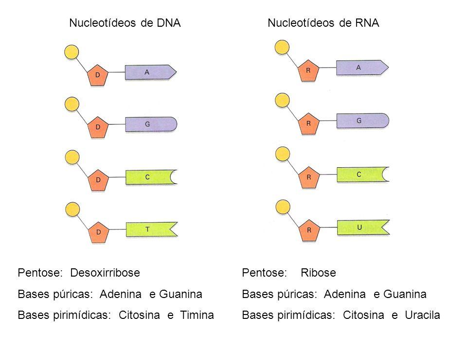 Nucleotídeos de DNA Nucleotídeos de RNA. Pentose: Desoxirribose. Bases púricas: Adenina e Guanina.