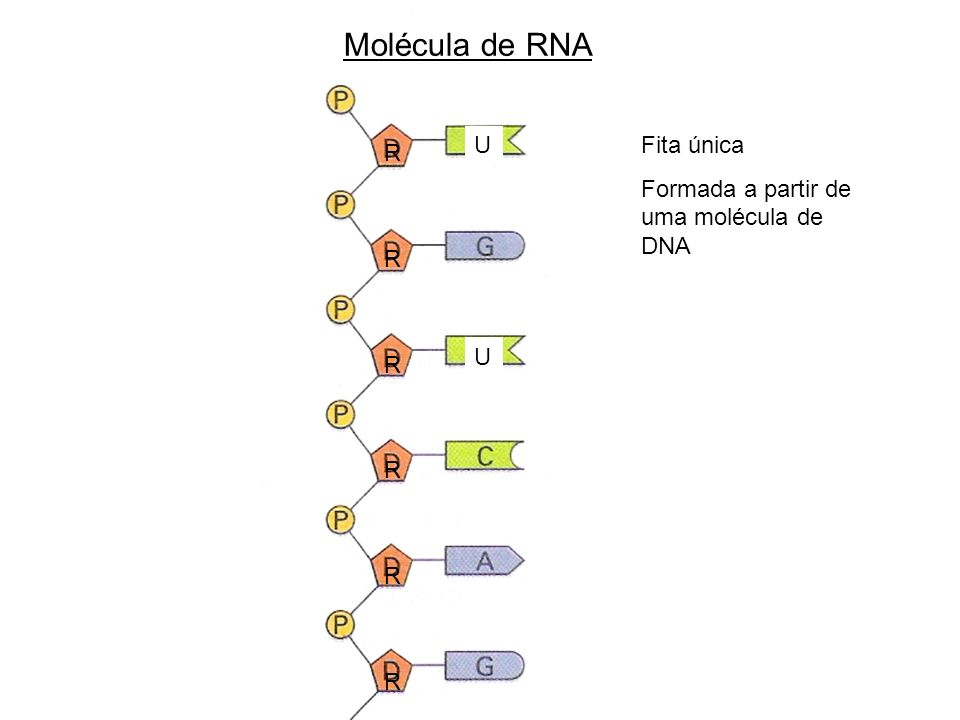 Molécula de RNA U Fita única Formada a partir de uma molécula de DNA R