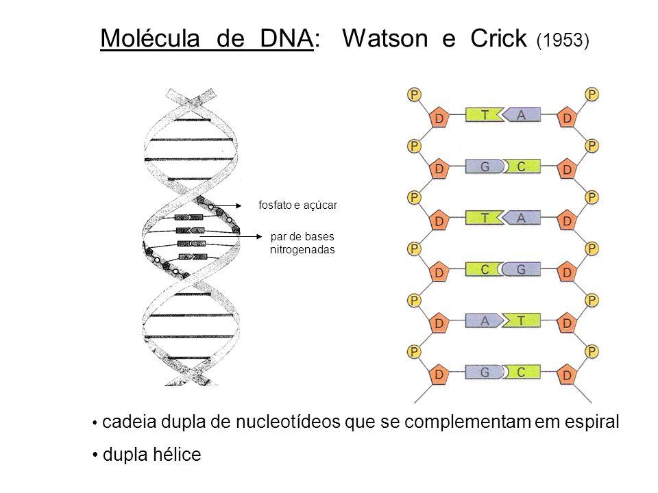 Molécula de DNA: Watson e Crick (1953)