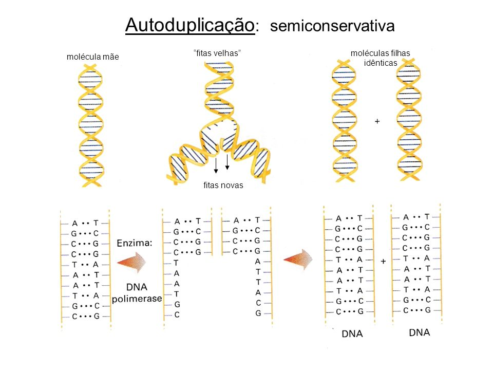 Autoduplicação: semiconservativa
