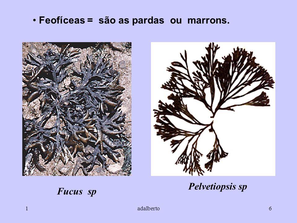 Pelvetiopsis sp Fucus sp