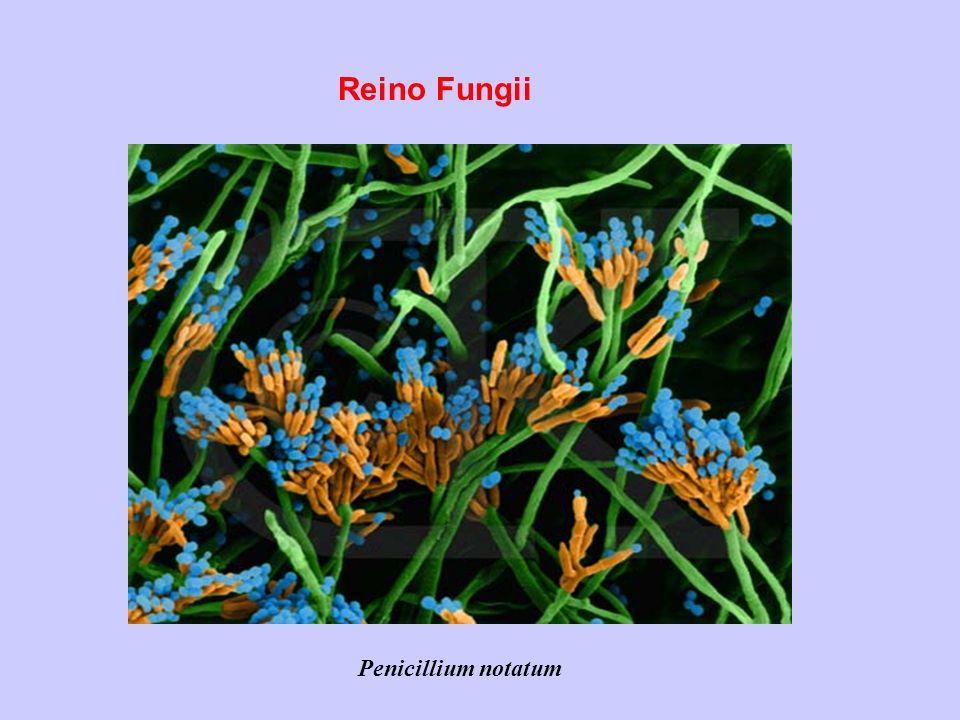 Reino Fungii Penicillium notatum