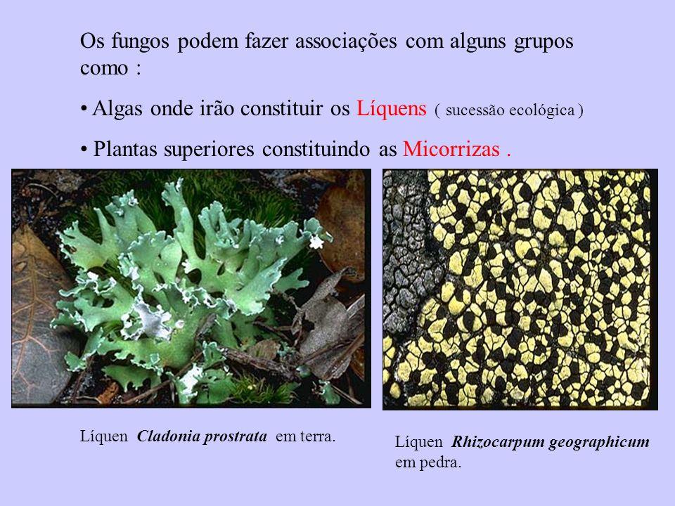 Líquen Cladonia prostrata em terra.