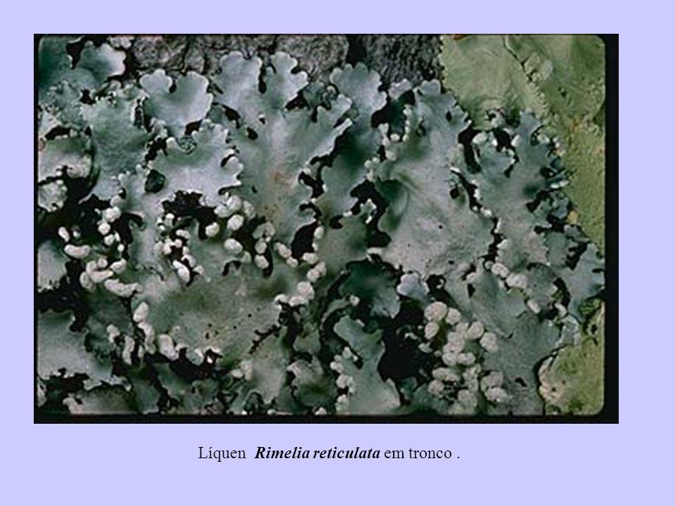 Líquen Rimelia reticulata em tronco .