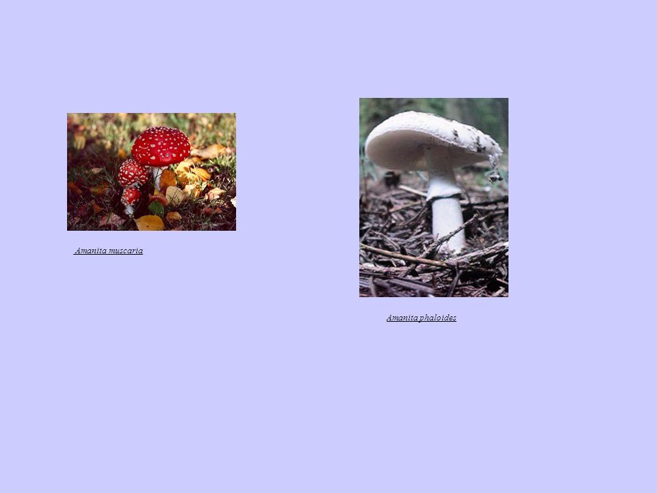 Amanita muscaria Amanita phaloides