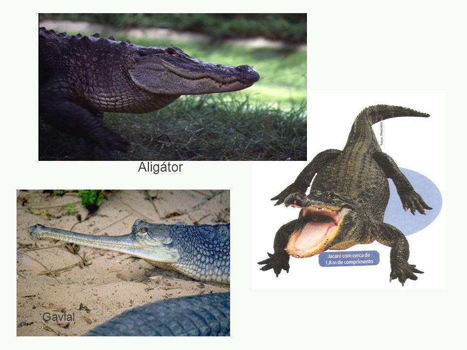 Aligátor Gavial