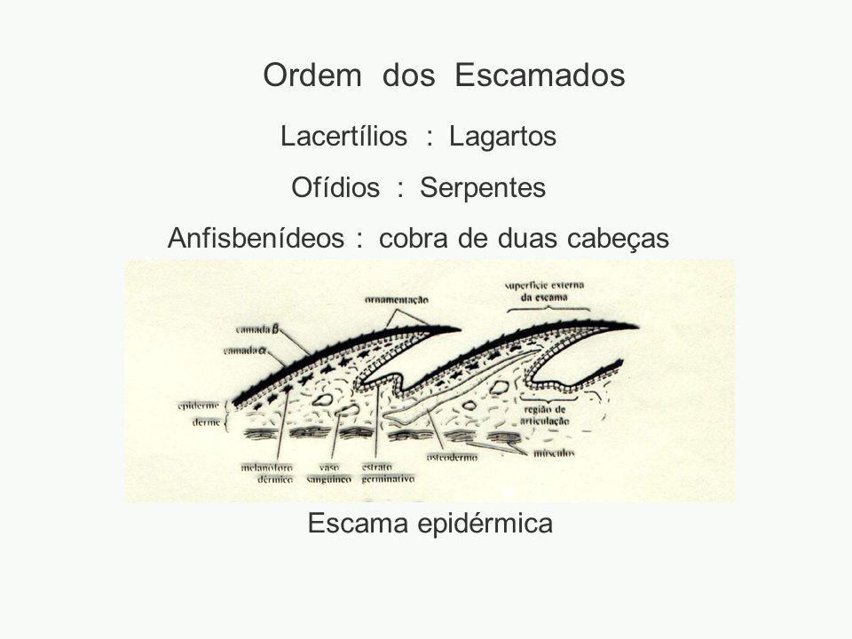 Ordem dos Escamados Lacertílios : Lagartos Ofídios : Serpentes