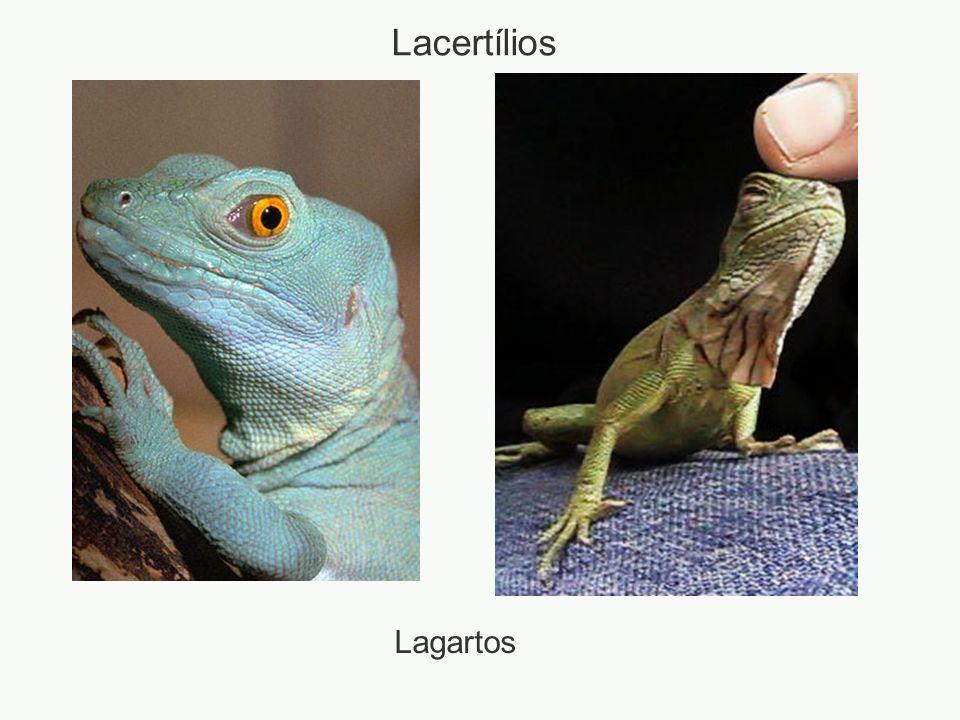 Lacertílios Lagartos