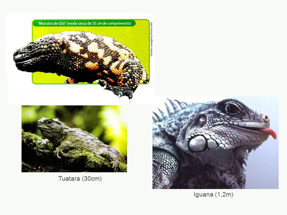 Tuatara (30cm) Iguana (1,2m)
