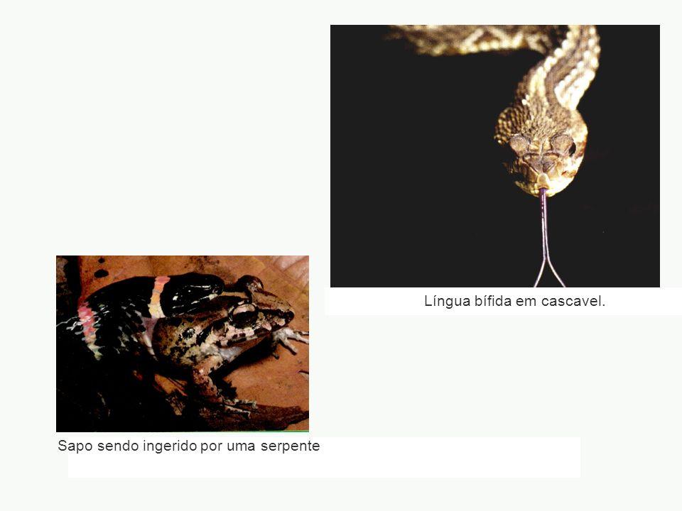 Língua bífida em cascavel.