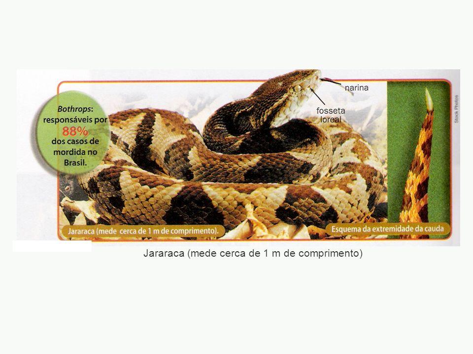 Jararaca (mede cerca de 1 m de comprimento)