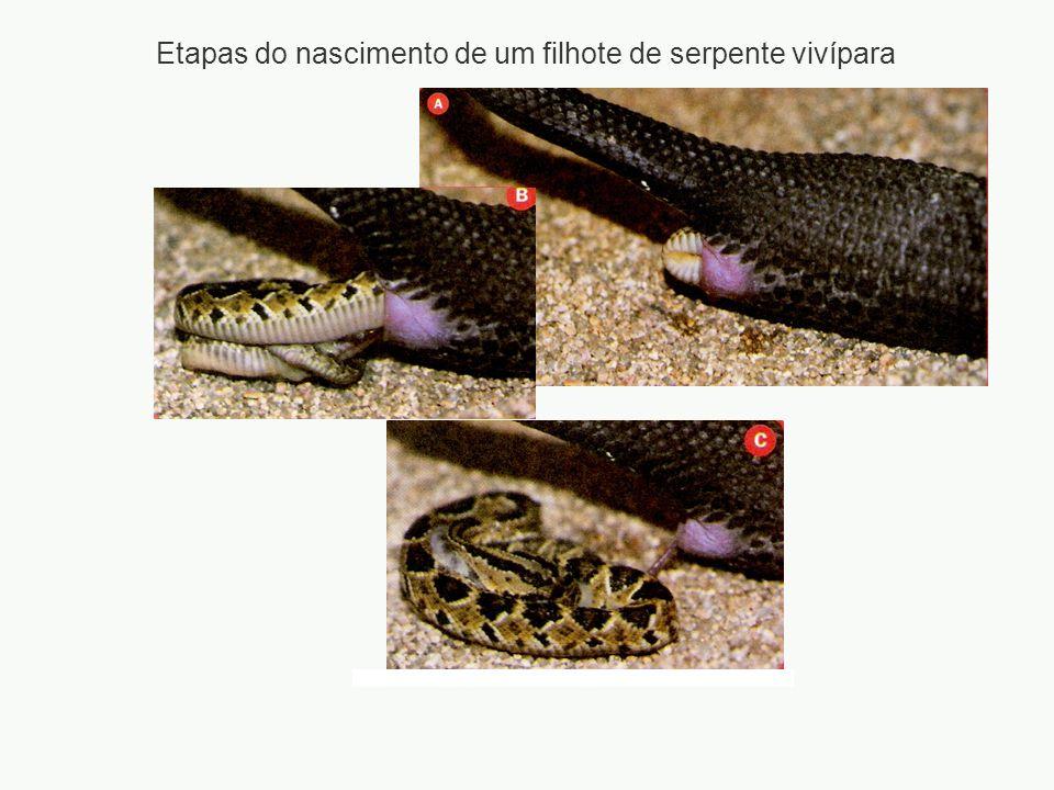 Etapas do nascimento de um filhote de serpente vivípara