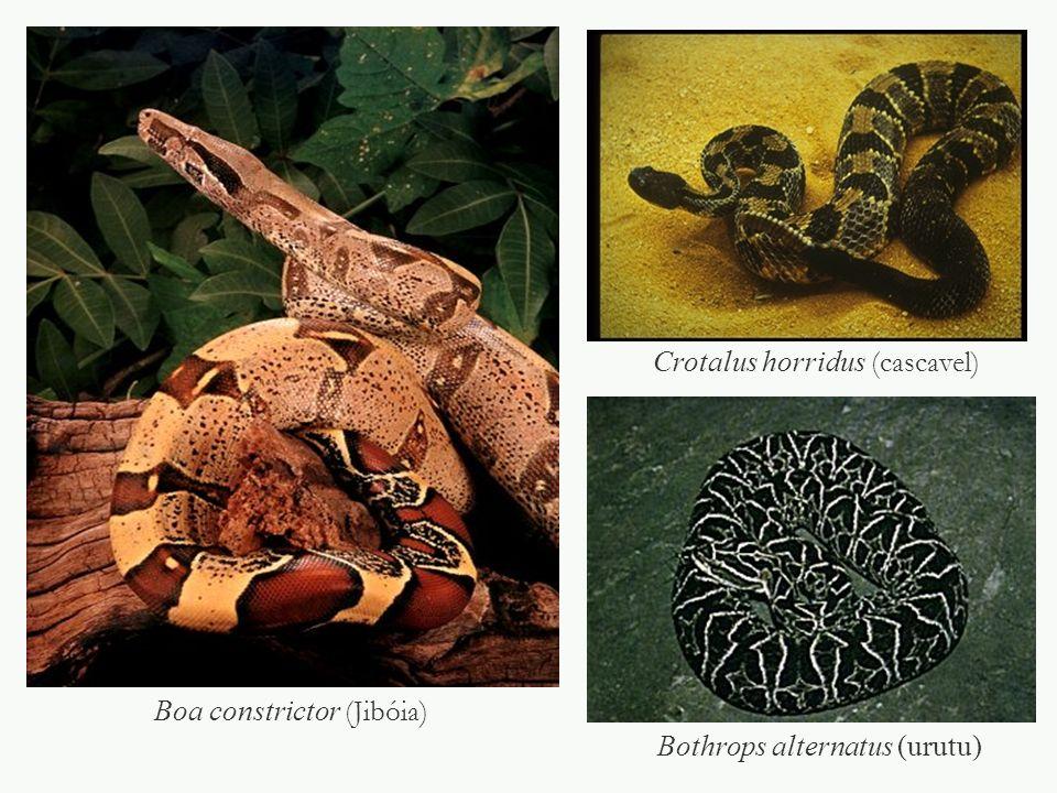 Crotalus horridus (cascavel)