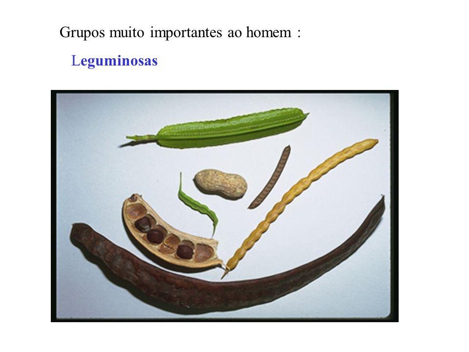 Grupos muito importantes ao homem : Leguminosas