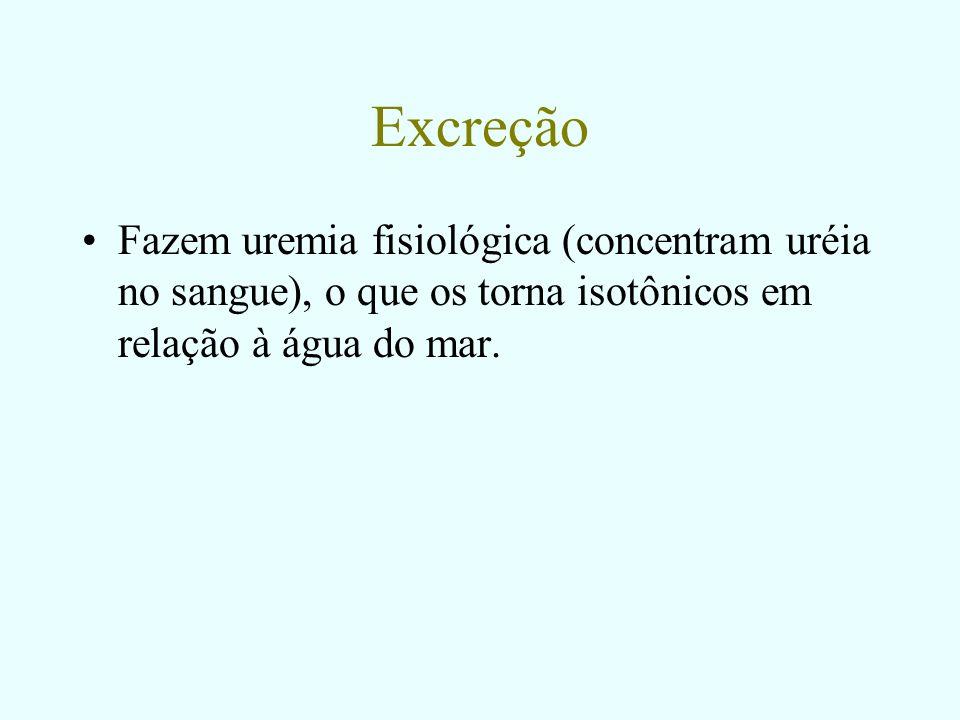 Excreção Fazem uremia fisiológica (concentram uréia no sangue), o que os torna isotônicos em relação à água do mar.
