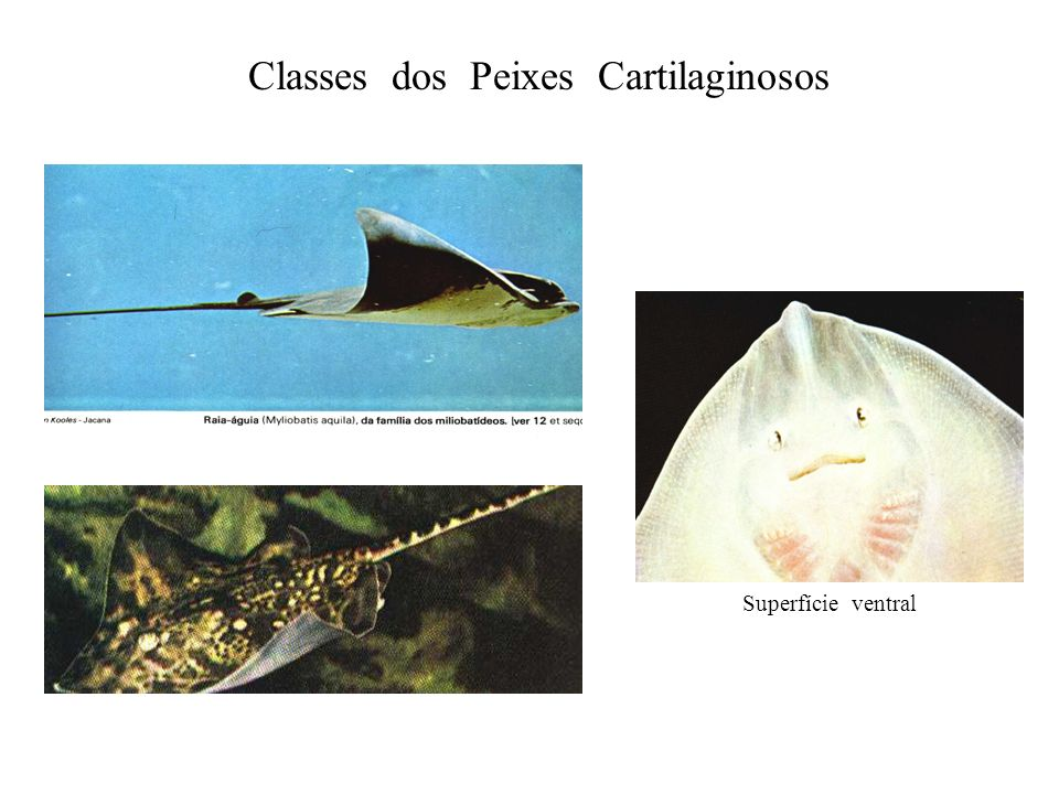 Classes dos Peixes Cartilaginosos
