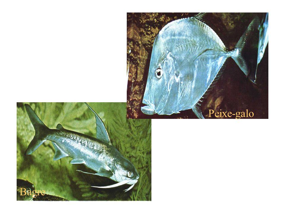 Peixe-galo Bagre
