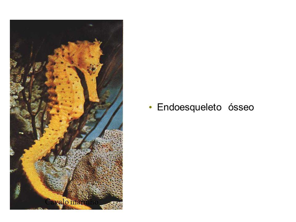 Endoesqueleto ósseo Cavalo marinho